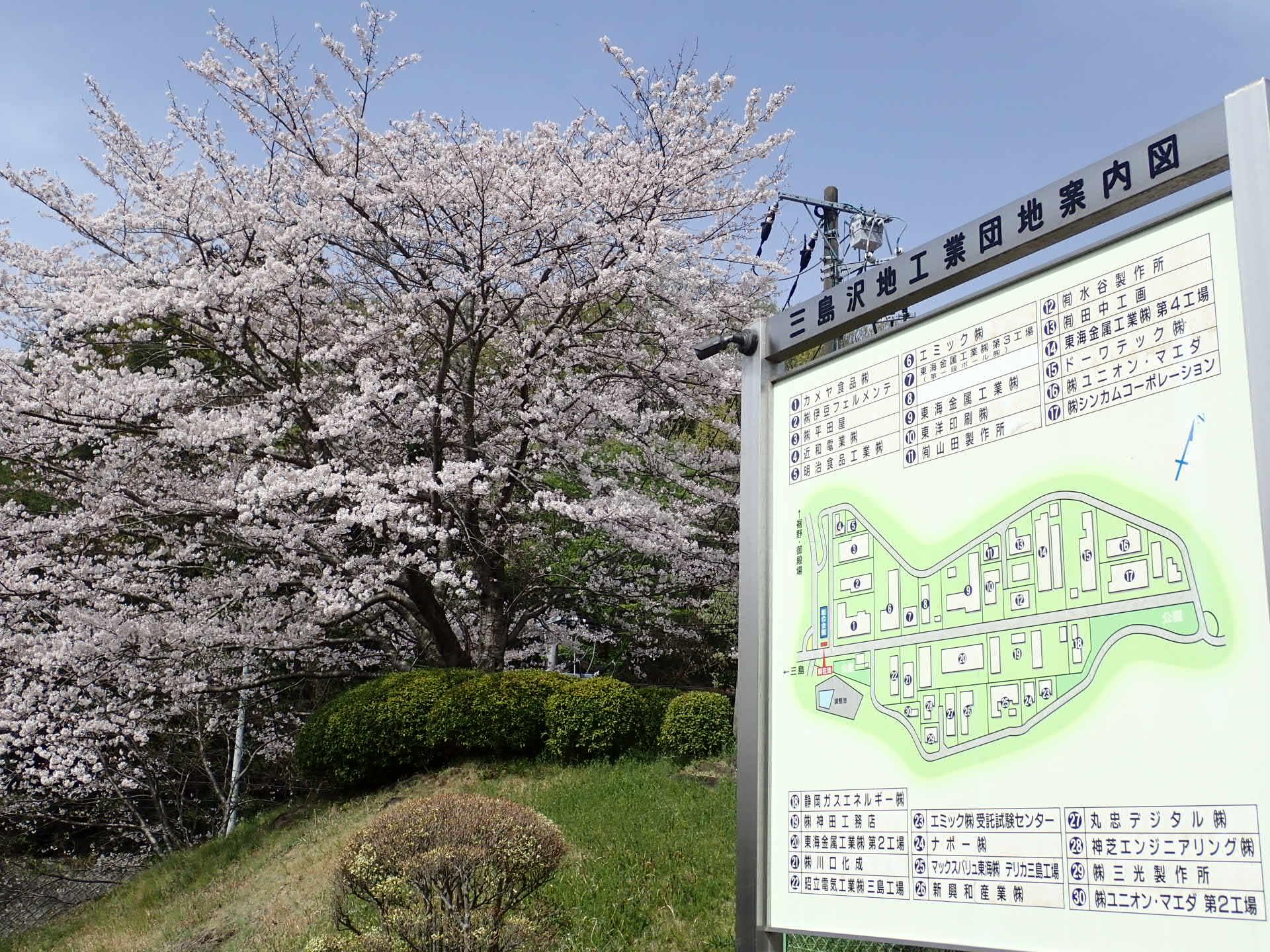 今年も桜が満開です